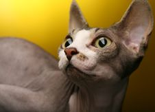 Free Sphynx On Yellow Background Royalty Free Stock Photography - 17392647