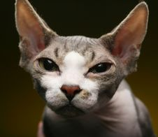 Little Fun Sphynx  Cat. Stock Photo