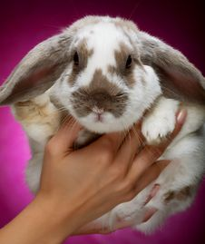 Bunny On Pink  Background Royalty Free Stock Photo