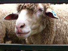 Free Sheep On The Farm Stock Photo - 17395380