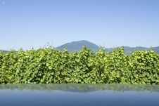 Vineyard From Alsace. France. Royalty Free Stock Photography