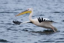 Free White Pelican Taking Off Stock Photos - 17395543