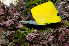 Free Longnose Butterflyfish Royalty Free Stock Photos - 17395578