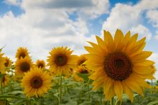 Free Sunflower Flower On Field Royalty Free Stock Photo - 17395595