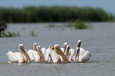 Free White Pelicans Flock Royalty Free Stock Photos - 17395648