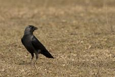 Free Hooded Crow Royalty Free Stock Image - 17395706