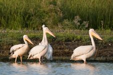 Free White Pelicans On Shore Royalty Free Stock Image - 17395726