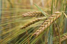 Free Wheat Plant Stock Photo - 17397080