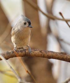 Free Tufted Titmouse, Baeolophus Bicolor Stock Images - 17397274