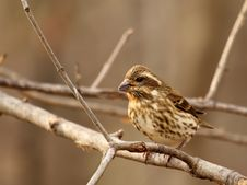 House Finch, Carpodacus Mexicanus Stock Photography
