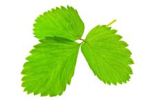 Free Green Leaf Royalty Free Stock Photography - 17398187