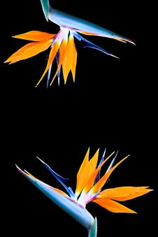 Free Heliconia Flower Stock Images - 17398394
