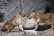 Free Lions Fight Stock Image - 17398821