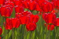 Free Spring Tulips Impregnated By The Sun Royalty Free Stock Images - 1745659