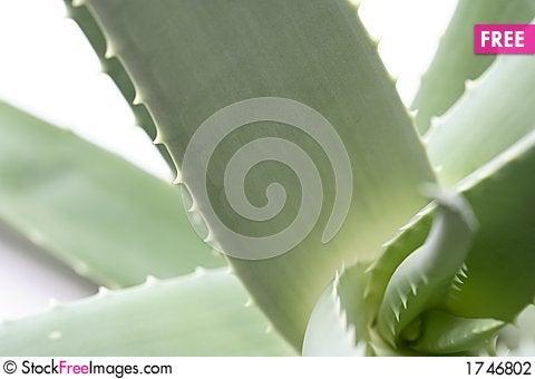 Free Aloe Vera Stock Photography - 1746802