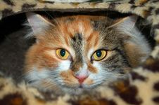 Tri-colored Cat Royalty Free Stock Photo