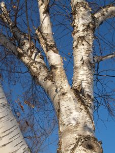 Free Winter Birch Stock Photography - 1740752