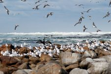 Free Seabird Flurry Royalty Free Stock Image - 1741296