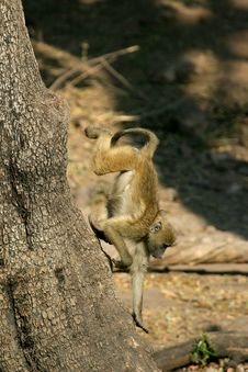 Free Little Baboon Royalty Free Stock Image - 1743986