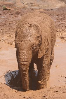 Free Baby Elephant Stock Images - 1747304