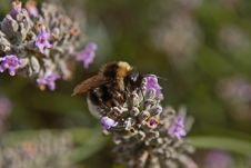 Free Bee On A Lavender Flower Royalty Free Stock Photography - 1747517