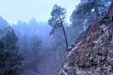 Free Pine In The Blue Forest Fog Stock Images - 1747754