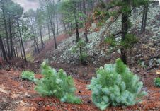 Rain In The Piny Forest, Canaries, La Palma Royalty Free Stock Image