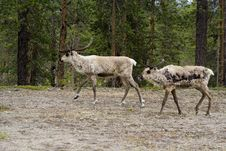 Free Reindeers Royalty Free Stock Photography - 1749197