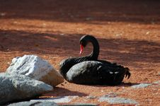 Free Black Swan Stock Photo - 1749980