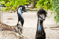 Free Emu Stock Photos - 17402883