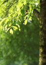 Free Beech Tree Branch Lit By The Sunshine Stock Images - 17404634