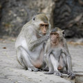 Free Macaque Monkeys Grooming Royalty Free Stock Photo - 17406905