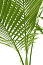 Free Palm Leafs Coconut Tree Stock Image - 17408391