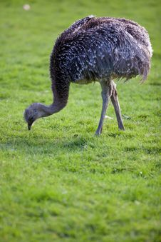 Free Ostrich Royalty Free Stock Photography - 17400007