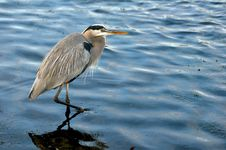 Free Heron Stock Images - 17401424