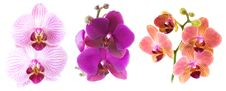 Free Phalaenopsis Isolated On White Royalty Free Stock Photography - 17401437