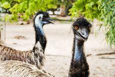 Free Emu Stock Photos - 17402883