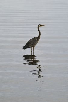 Free Gray Heron Royalty Free Stock Photo - 17403915