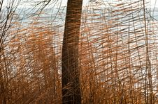 Free Reeds Stock Photos - 17403993