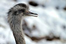 Free Emu In Winter Stock Photo - 17404290