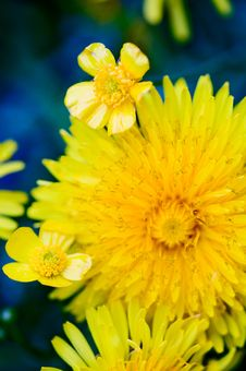 Free Beautiful Yellow Dandelion Royalty Free Stock Photos - 17404638