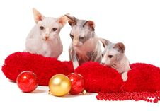 Free Christmas Cats Stock Photography - 17405132