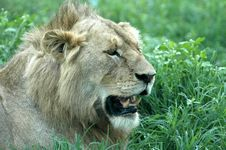 Free Male Lion Growling Stock Photo - 17406600