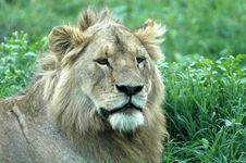 Free Male Lion Royalty Free Stock Image - 17406606