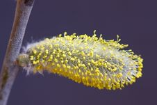 Free Catkin Willow Stock Photography - 17407352