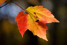 Free Fall Maple Leaf At Sunset Stock Photos - 17407543