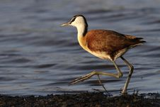 Free Juvinile African Jacana Royalty Free Stock Photography - 17409307