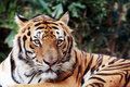 Free Bengal Tiger Staring At The Camera Stock Images - 17414444
