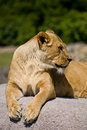 Free Lioness On Rock Royalty Free Stock Photography - 17418487