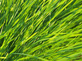 Free Green Grass 01 Royalty Free Stock Image - 17418546